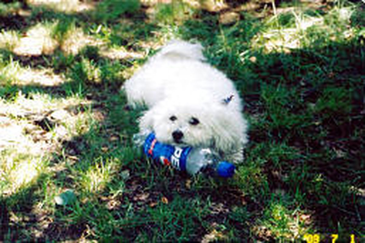 Waffle, a small Havanese belonging to Bob and Barb Wagner of Dixon, Ill., likes to play with an empty soda bottle (she can even open it!).