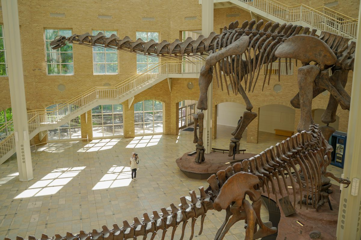 A photo of two large dinosaurs skeletons and a woman taking photos.