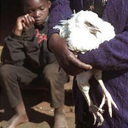 A woman clutches a chicken in a poverty-stricken area southeast of Johannesburg. According to a recent U.N. report, without drastic measures millions will die over the next 10 years because of poverty.