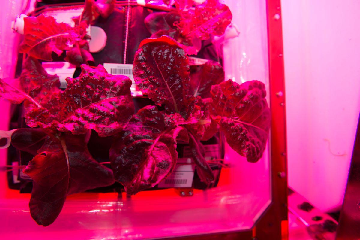 Romaine lettuce grown on the International Space Station.