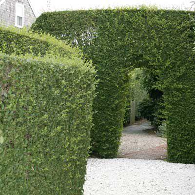 Privet Hedge Wall