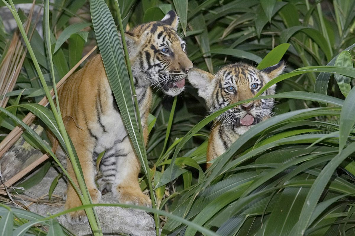 Tigers on the prowl!