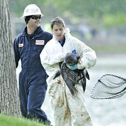 Kalyn McKenzie from Hogle Zoo removes an oil-soaked bird from Liberty Park on Saturday.