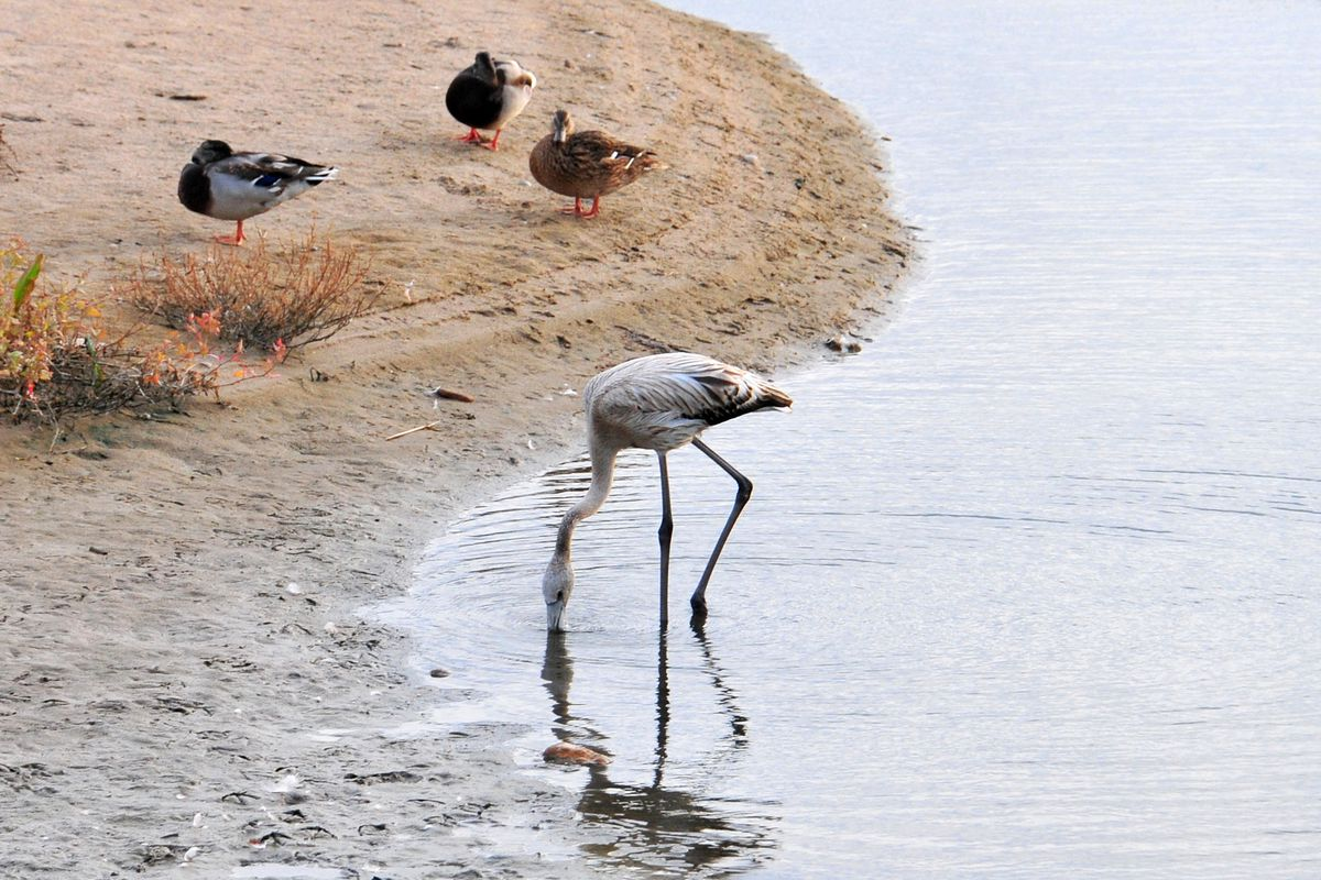 A flamingo specimen that was lost from its colony while...