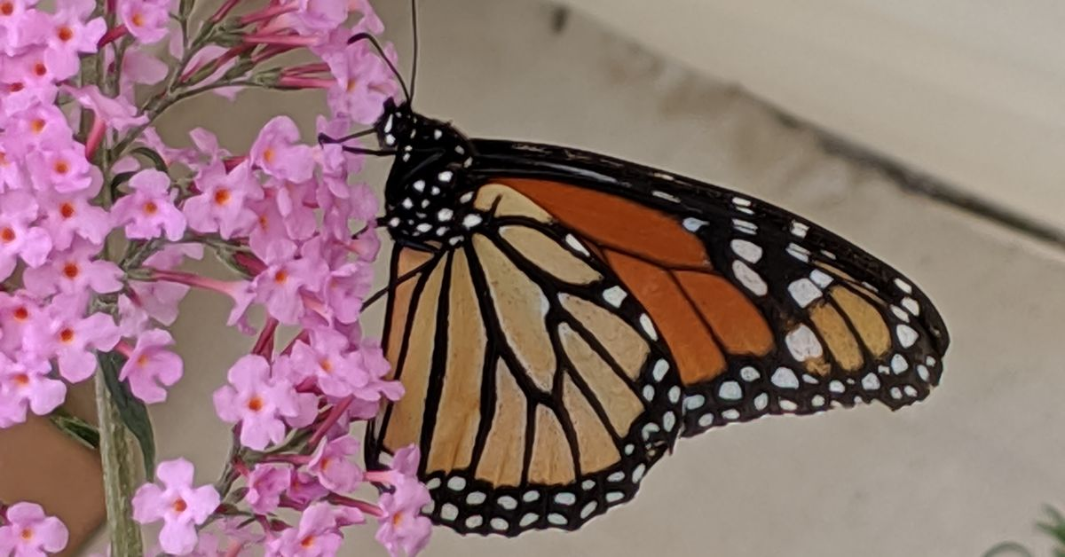 Illinois holds a central role in conserving monarchs, butterflies too cool to lose.