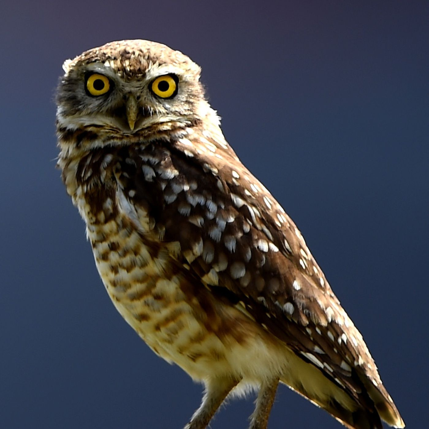 9 superb owl facts you need to know vox buycottarizona Images