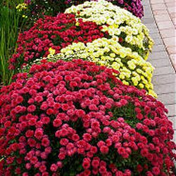 Mums, which have been cultivated for centuries around the world, are available in almost every color except blue and are widely available.
