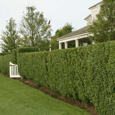 Privet Hedge In Front Of Home