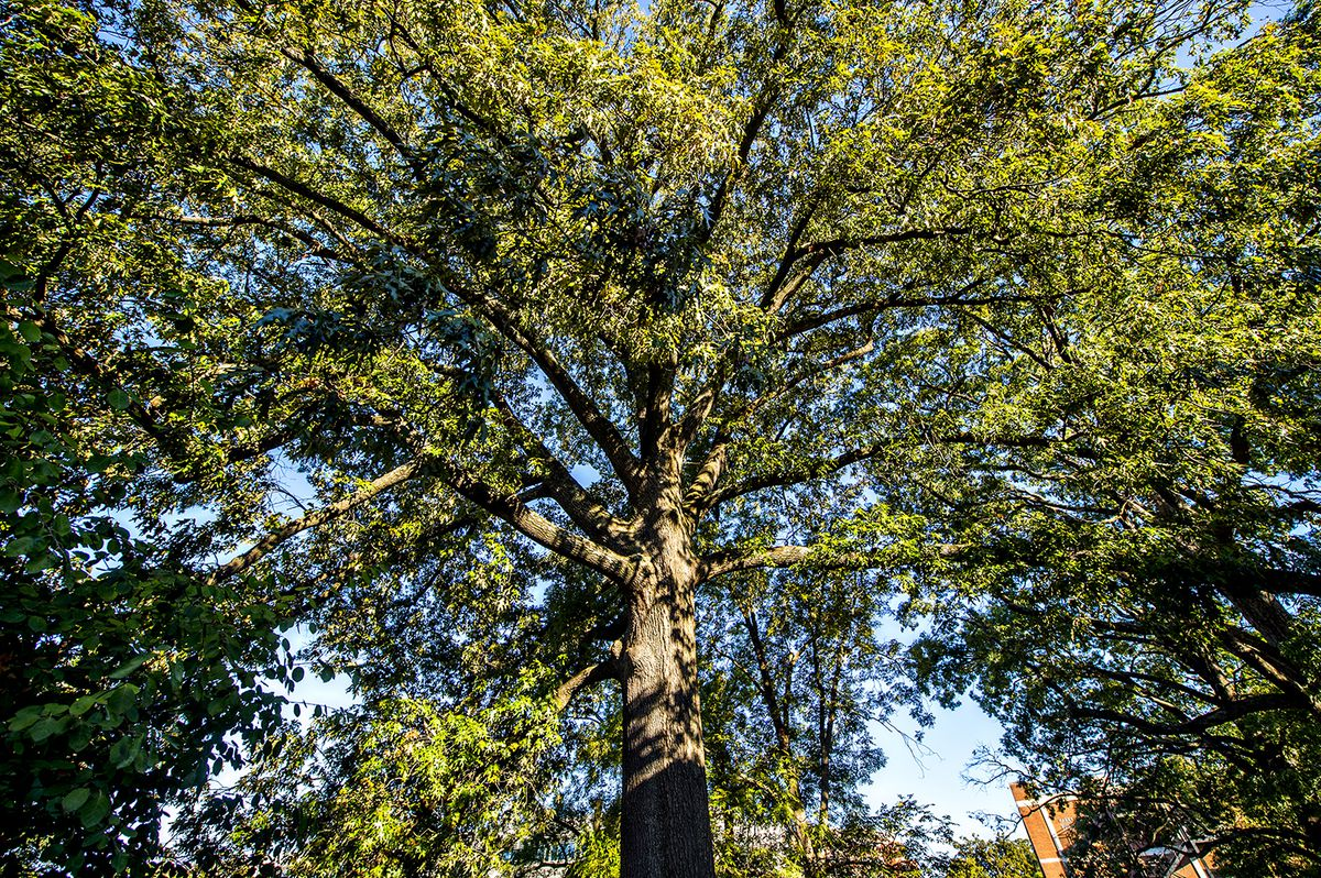 A large oak tree on Georgia Tech's campus.
