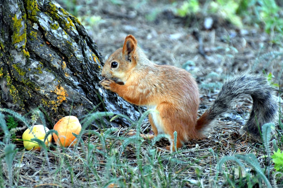 A squirrel snacks on an apricot at the base of a tree.