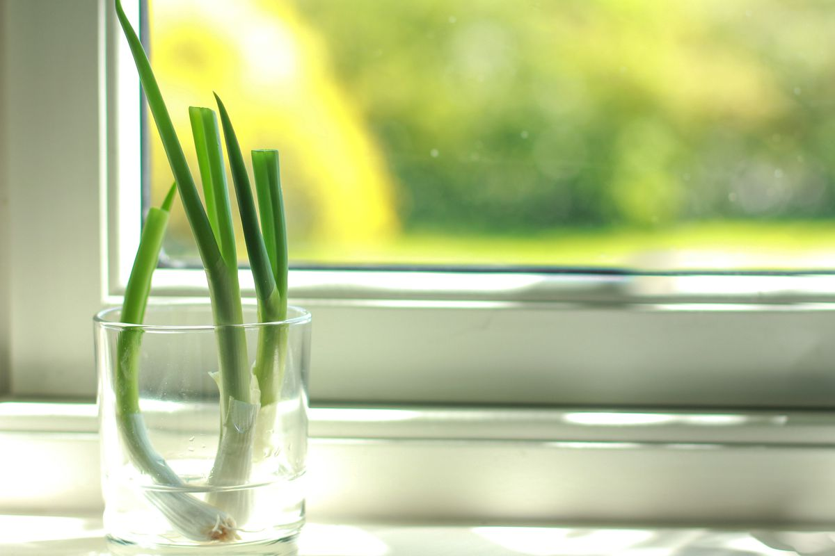 Three scallions in a clear cup on a windowsill