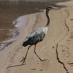 A great blue heron walks along the shore of the Colorado River in Cataract Canyon in southern Utah — part of the natural wonders along the whitewater trip.