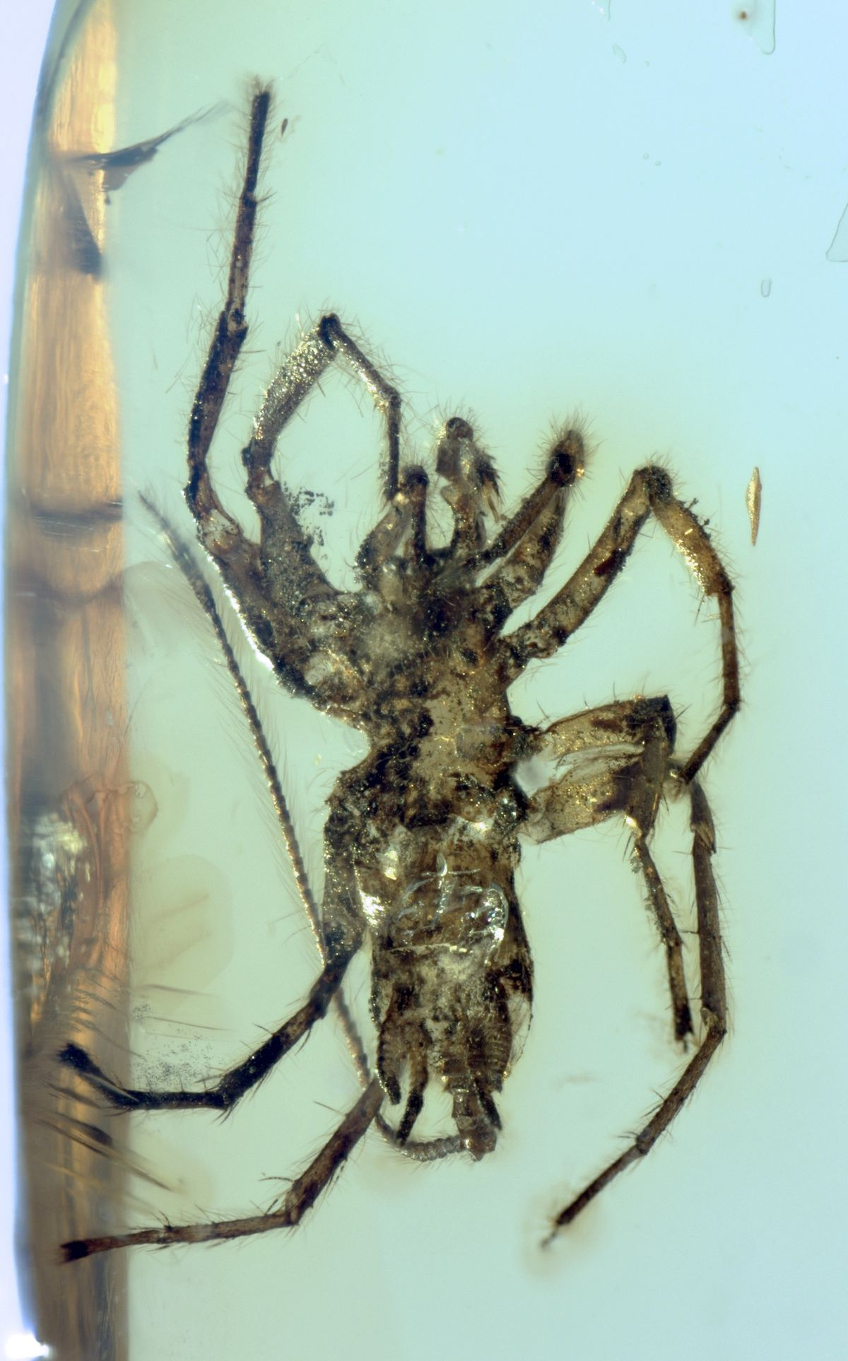 The specimens had spinnerets, or silk-spinning organs, jutting from the bottom of their abdomens —a feature they share with modern-day spiders.