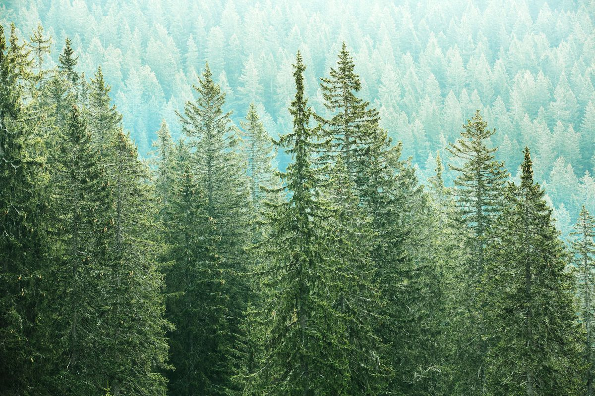 The National Forest Service has announced the dates when Christmas tree permits will go on sale for those who want to obtain a freshly cut tree from federal lands.