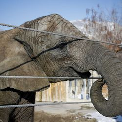 Researchers have drawn blood from many elephants in an attempt to better understand why they do not get cancer, including Zuri, 7, pictured here at Hogle Zoo in Salt Lake City on Tuesday, Jan. 17, 2017.