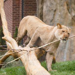 A female lion inside the Pepper Family Wildlife Center at Lincoln Park Zoo Thursday.