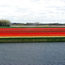 Tulip bulb production fields in the Netherlands