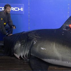 In this Sept. 13, 2012, photo, Captain Brett McBride places his hand on the snout of the crew's first specimen while scientists collect blood, tissue samples and attach tracking devices on the research vessel Ocearch off the coast of Chatham, Mass. Before release, the nearly 15-foot, 2,292-pound shark was named Genie for famed shark researcher Eugenie Clark.  The Ocearch team baits the fish and leads them onto a lift, tagging and taking blood, tissue and semen samples up close from the world's most feared predator. The real-time satellite tag tracks the shark each time its dorsal fin breaks the surface, plotting its location on a map.