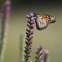 In this July 10, 2018 photo, A monarch butterfly lights atop a blazing star at Jim Barker's farm in rural in McLeansboro, Ill. Barker has transformed his property into small patches of prairie that resemble what Hamilton County would have looked like before modern agriculture.   Les Winkeler/The Southern, via AP