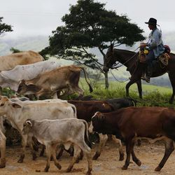 A cowboy herds his cattle near Buenavista in the municipality of Mesetas, Colombia, Monday, June 26, 2017. On Tuesday, Colombia's President Juan Manuel Santos and the FARC's top commander Timochenko will meet in this area, at one of many rural camps where rebel fighters are making their transition to civilian life, to commemorate the completion of FARC disarmament process.