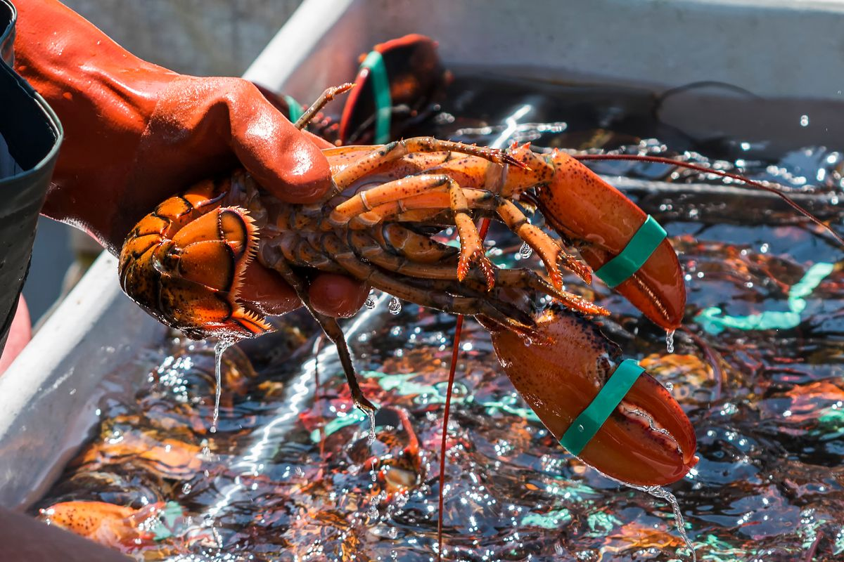 A fisherman's hand holding a live lobster over other freshly caught lobster.