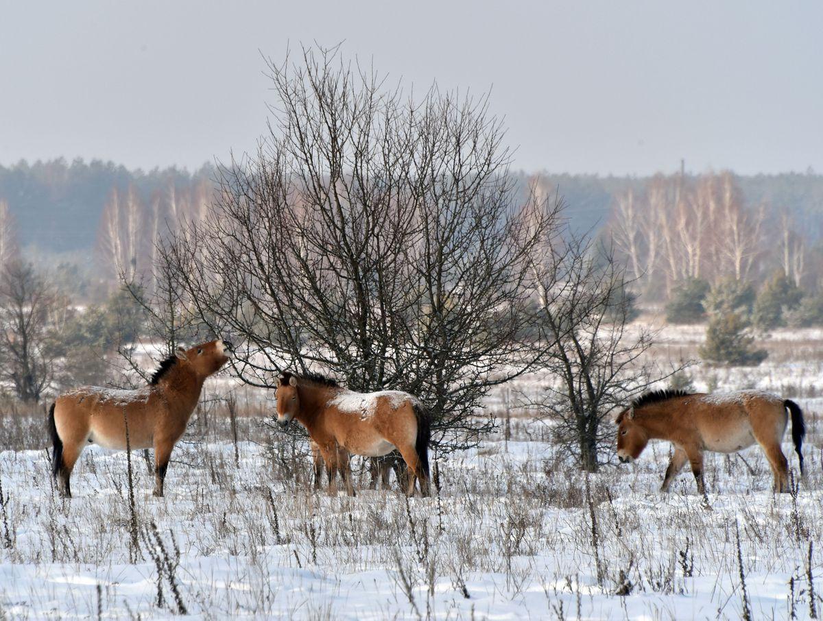 UKRAINE-CHERNOBYL-WILDLIFE