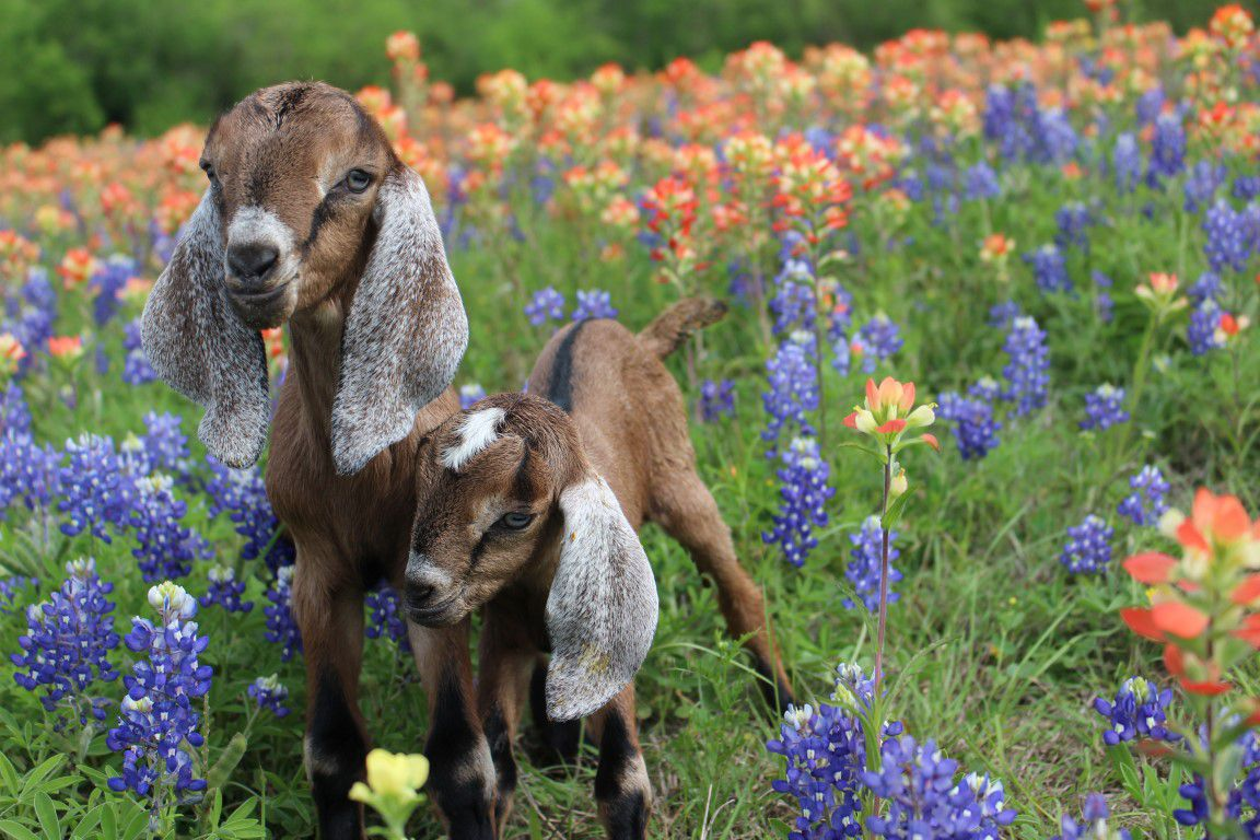 Two baby goats stand in a field of blue and orange flowers.