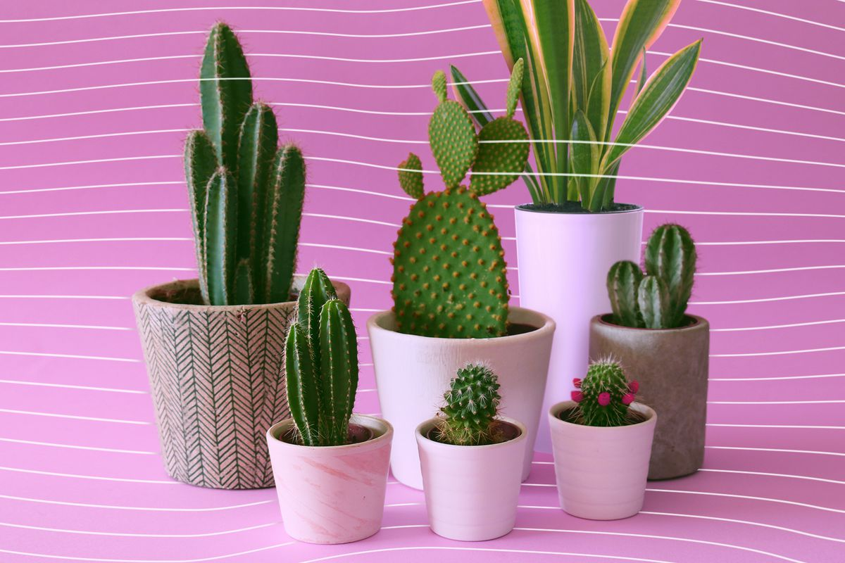 A variety of potted cacti and succulents.