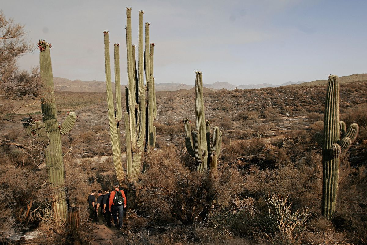World's Biggest Saguaro Cactus Becomes Wildfire Casualty