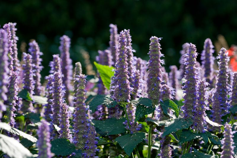 The purple cone-like blooms of a Hyssop plant.