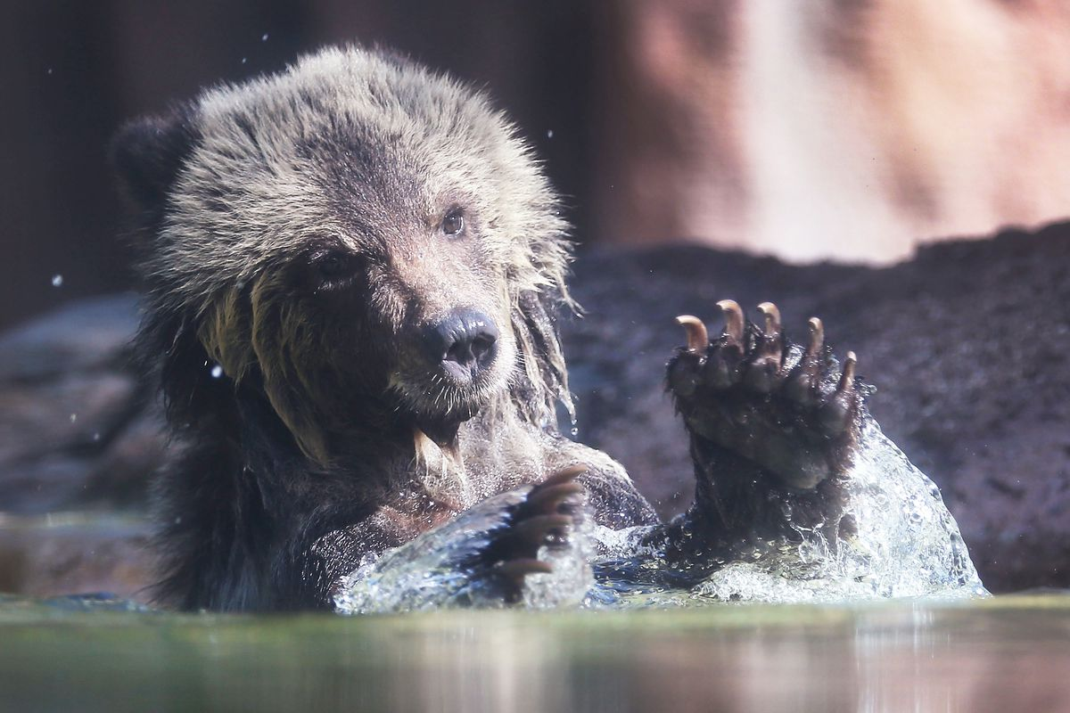 Palm Beach Zoo Debuts Grizzly Bear Cubs