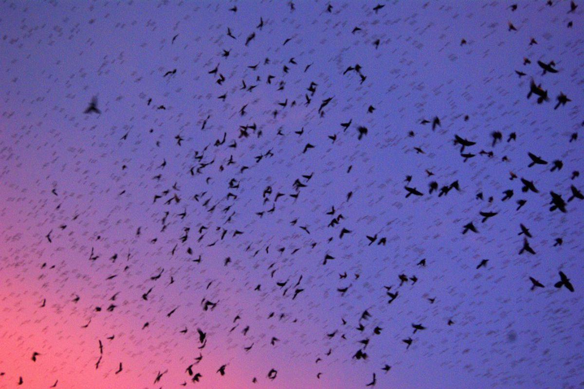 Grackles swarm (Credit: AlphaTangoBravo / Adam Baker/ Flickr CC-By-2.0)