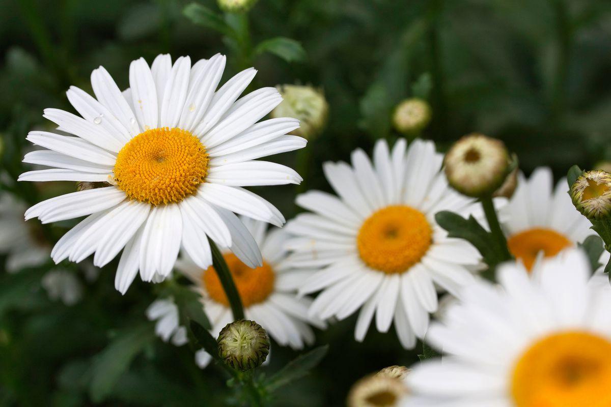 Shasta daisy up close.