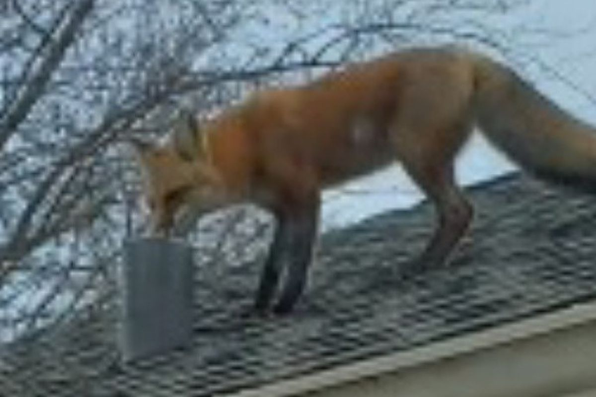 A fox on a roof in Worth. Provided by Mark Nowakowski