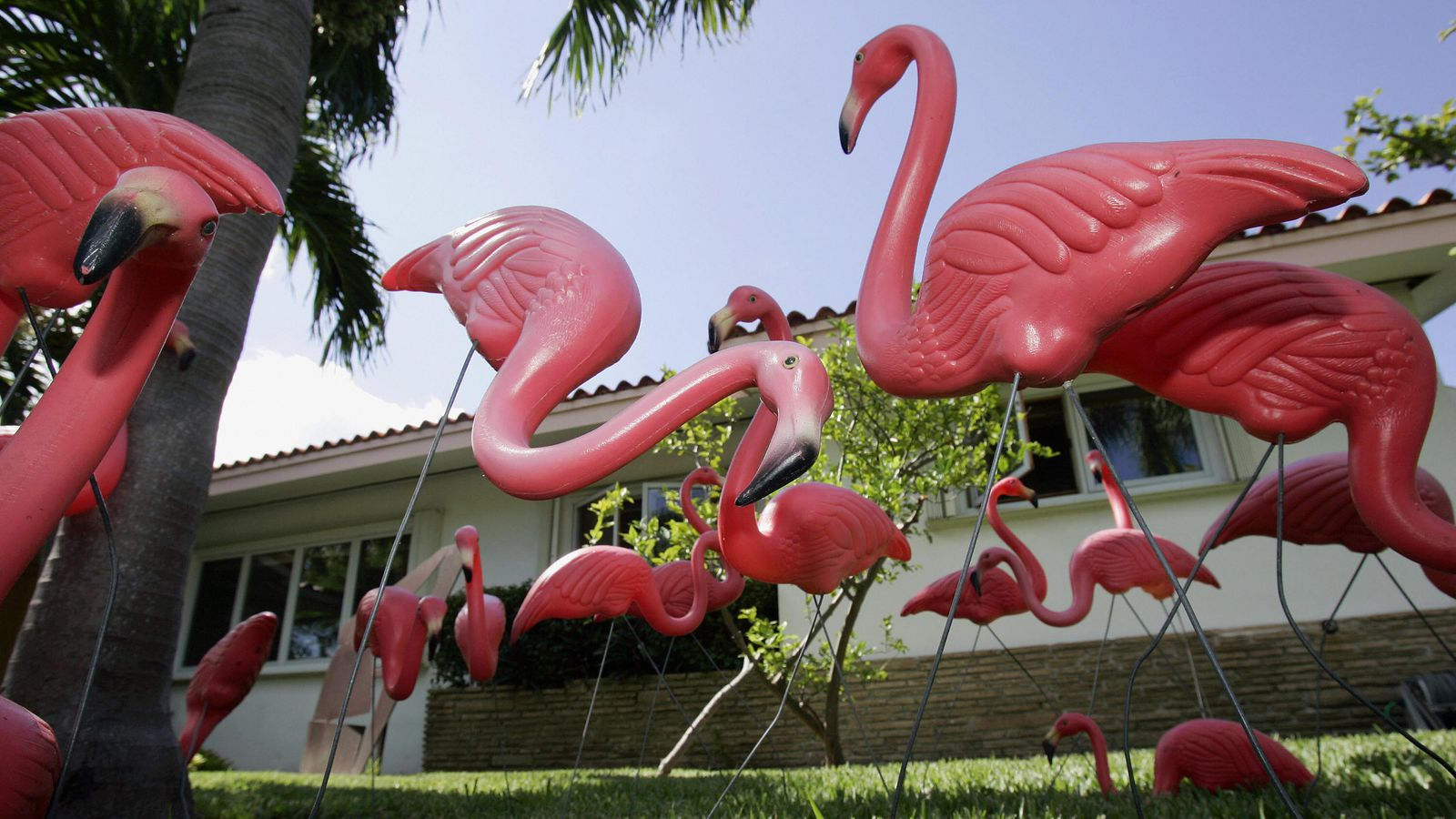 the importance of the flamingo in the american culture One of the caribbean's greatest conservation success stories began in the early 1950s, when ornithologist robert porter allen, audubon's first director of research, arrived in the bahamas' southernmost islands to discover only a scant hundred or so flamingos—one of the last breeding colonies of american flamingo.