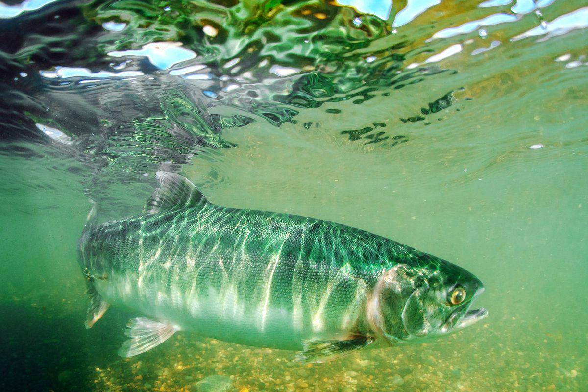 Pink salmon spawning season in Russia's Kamchatka Territory