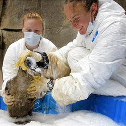 Ellen Vossekuiol, left, and Kate Call clean an oil-soaked goose at Hogle Zoo after oil from a pipeline leak flowed into the pond at Liberty Park on Saturday.