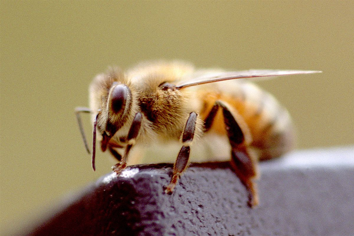 A bee from the hive of a family in Bartlett.