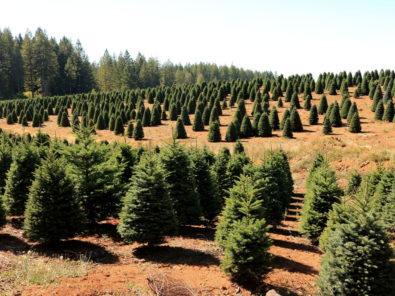 A Christmas tree farm in the Willamette Valley area of West Central Oregon.