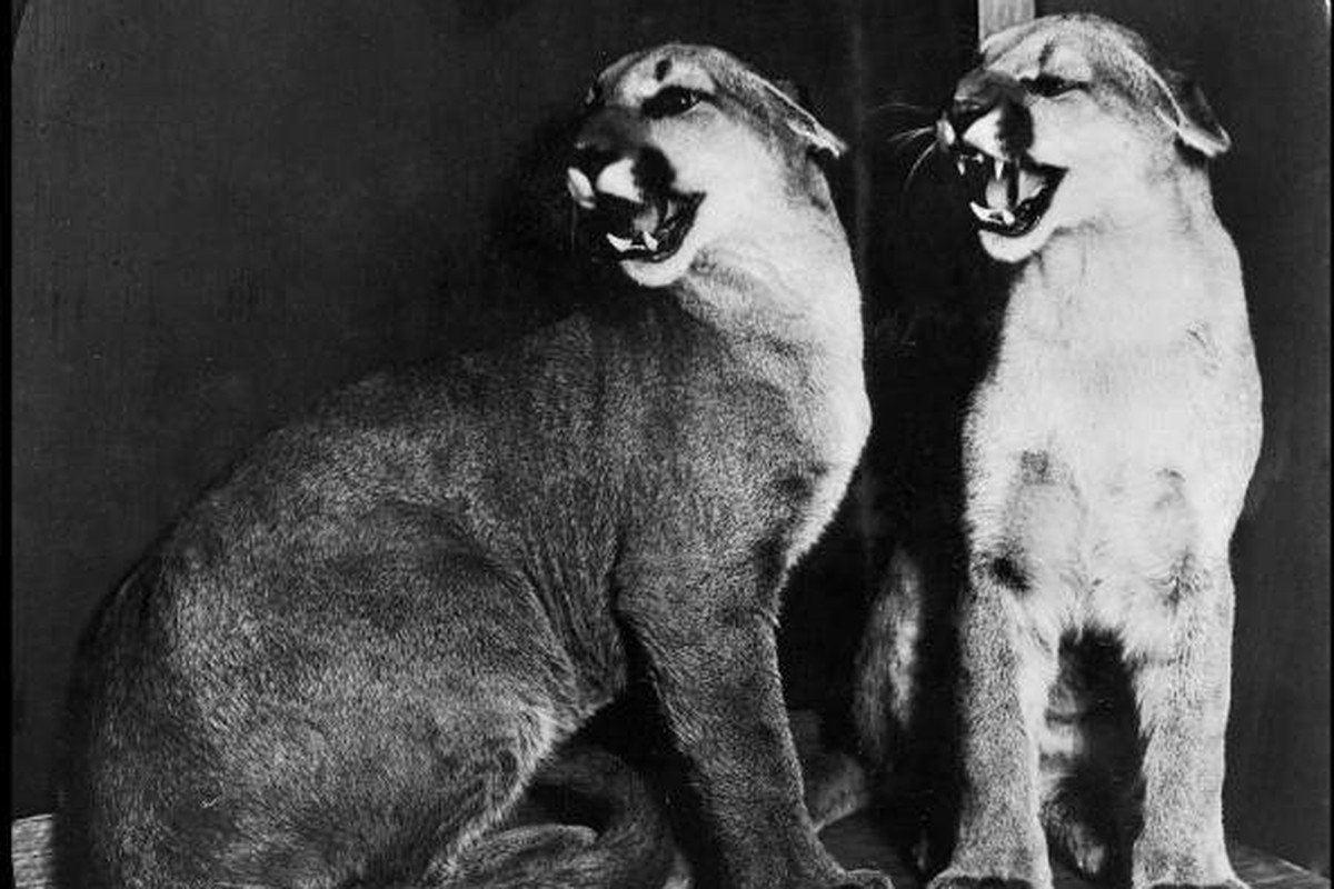 The original cougar mascots, Cleo and Tarbo.