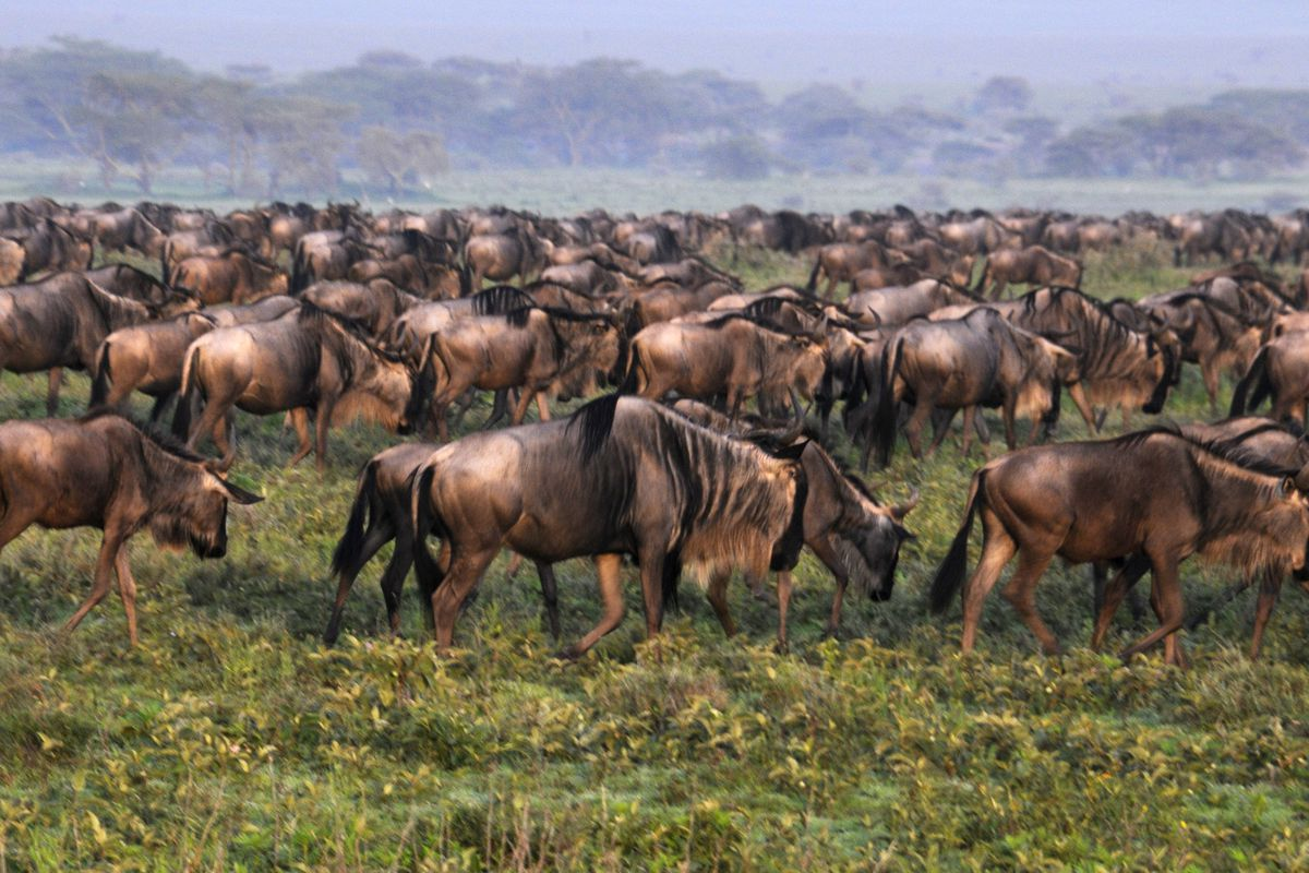 84dc00be81dbfe The Verge Review of Animals  the wildebeest - The Verge