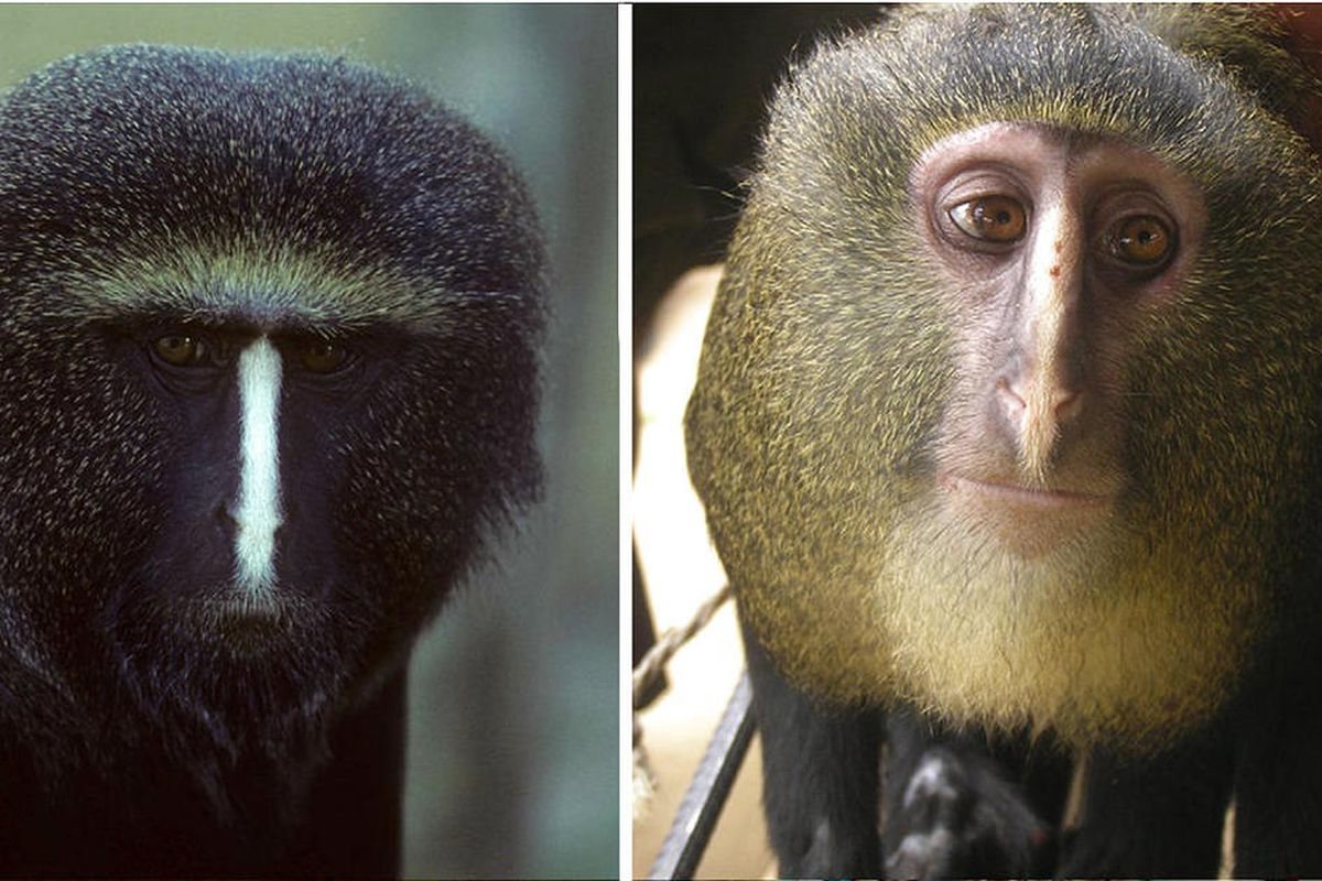 Researchers have identified a new species of African monkey, locally known as the Lesula, right. The monkey bears a resemblance to the owl faced monkey, left, but its coloration was unlike that of any other known species.