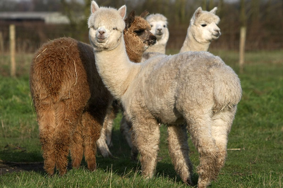 These are alpacas, raised for their useful wool. Actually, these are the butts of alpacas.
