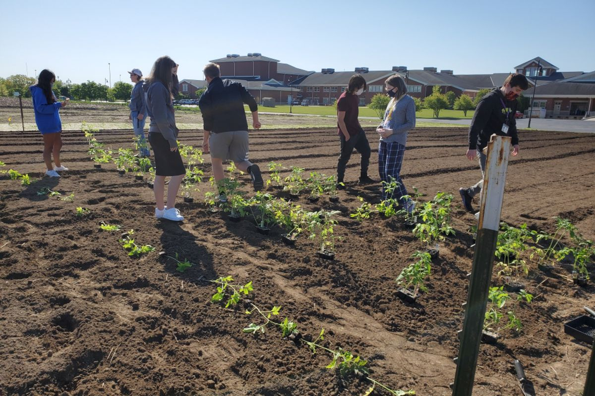 Seven agriculture students work together on a plot of tomatoes on a bright day.