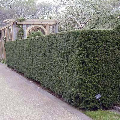 Hicksii Yew Shrub For Privacy