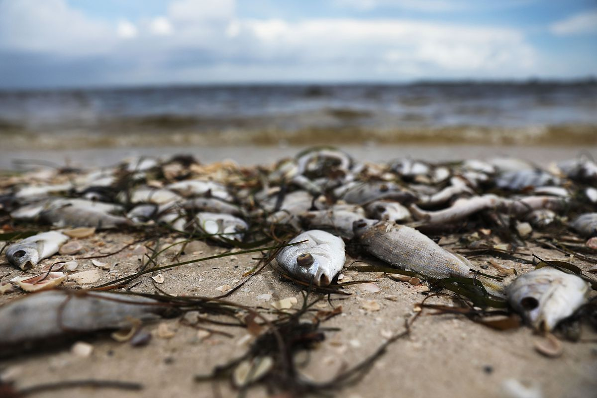 Red Tide Why Florida S Toxic Algae Bloom Is Killing Fish