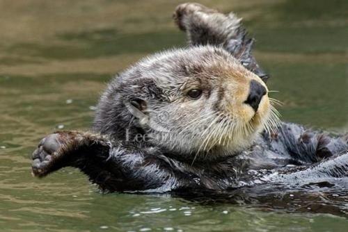 ottershrug