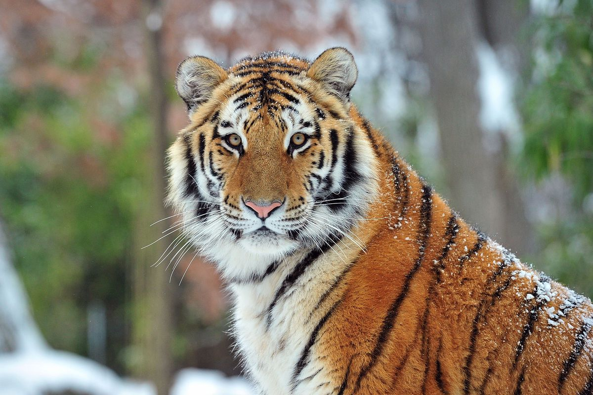 What we know about the Bronx Zoo tiger with Covid-19, and how the disease  affects other animals - Vox