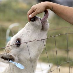 A cow licks Danielle Blanch's hand in Hooper, Weber County, on Friday, Sept. 18, 2020. Interior Secretary David Bernhardt was in Salt Lake City Friday for a number of events, including listening in to the concerns of the agricultural community.