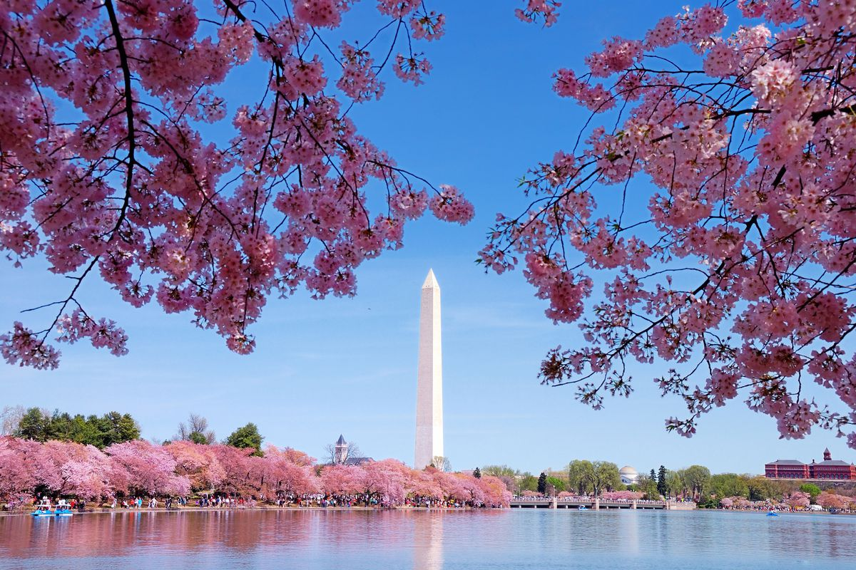 D C  U2019s Peak Cherry Blossom Bloom Predicted For March 17